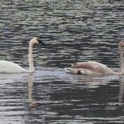 Trumpeter Swans