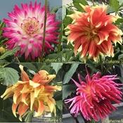 Beautiful Dahlias - One last look <3