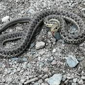 snake I Seen on trail