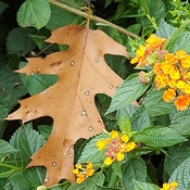 Fall Leaf Meets Summer Lantana