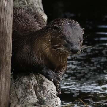 2021-10-23 - River Otter in Esquimalt Lagoon