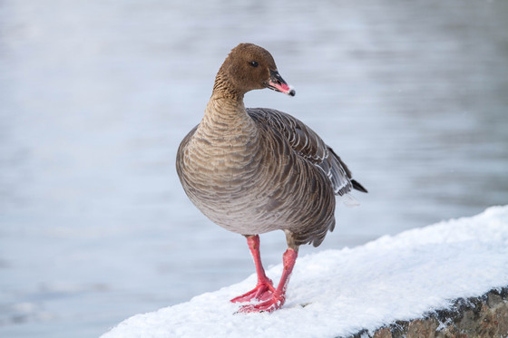 The infamous Pink-Footed Goose