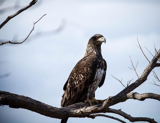 Quidi Vidi Eagle