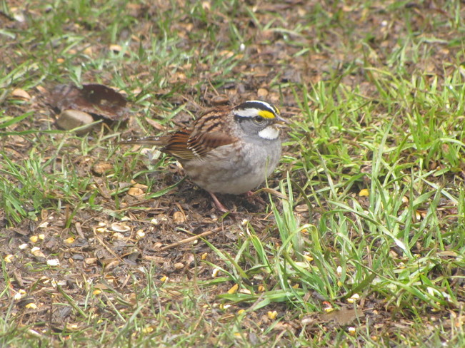 White-throated Sparrow Oxenden, Ontario Canada