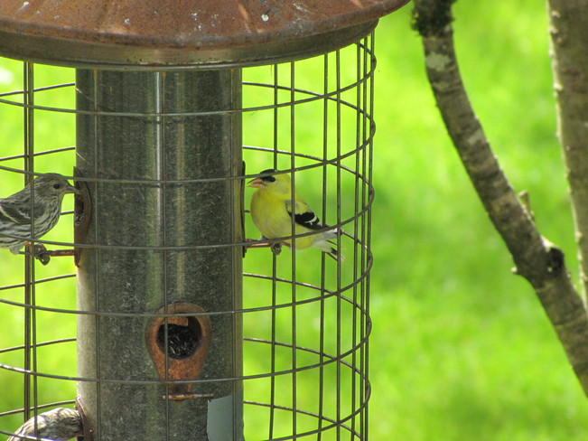 Visiting American Goldfinch Abbotsford, British Columbia Canada