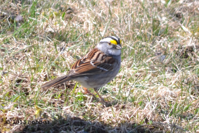 White Throated Sparrow Wilsons Beach, New Brunswick Canada