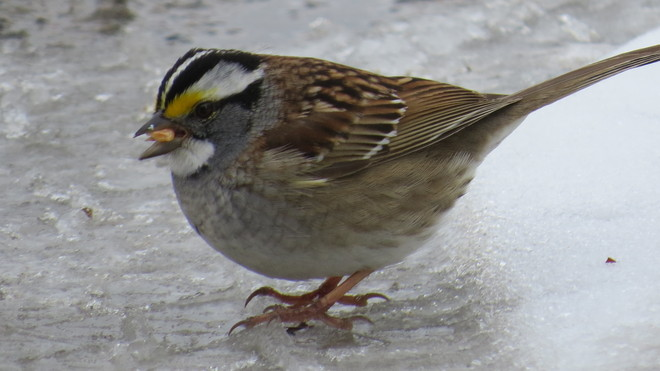 White-throated sparrow Timmins, Ontario Canada