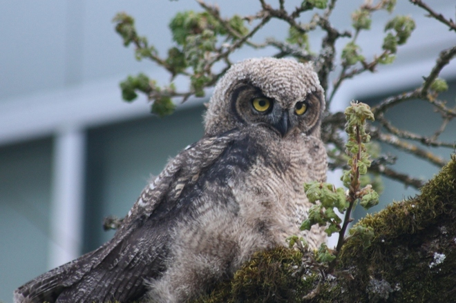 Great Horned Owlet Victoria, British Columbia Canada