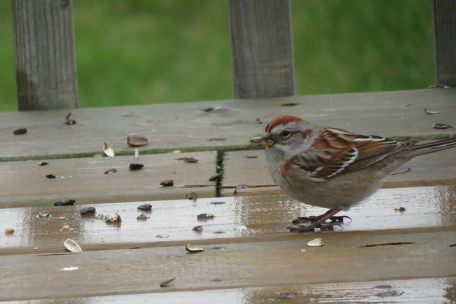 Chipping Sparrow Lindsay, Ontario Canada