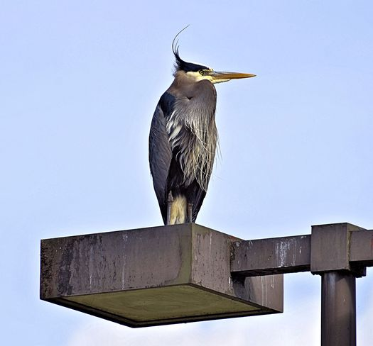 Blue Heron on Lamp Post Vancouver, British Columbia Canada