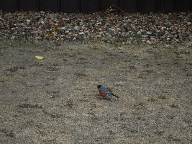 Robin: Spring is Officially Here Brandon, Manitoba Canada