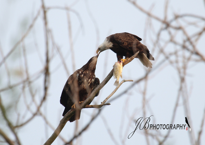 Bald Eagle & her young