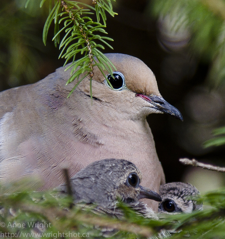 Mama Mourning Dove & Babes