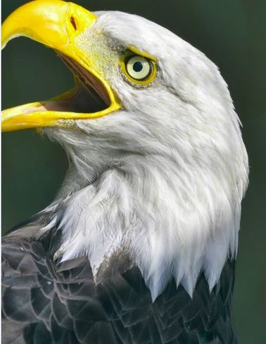 Eagle Closeup De Saint-Just, Quebec Canada