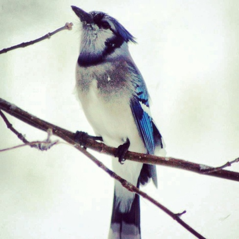 handsome blue jay Dauphin, Manitoba Canada