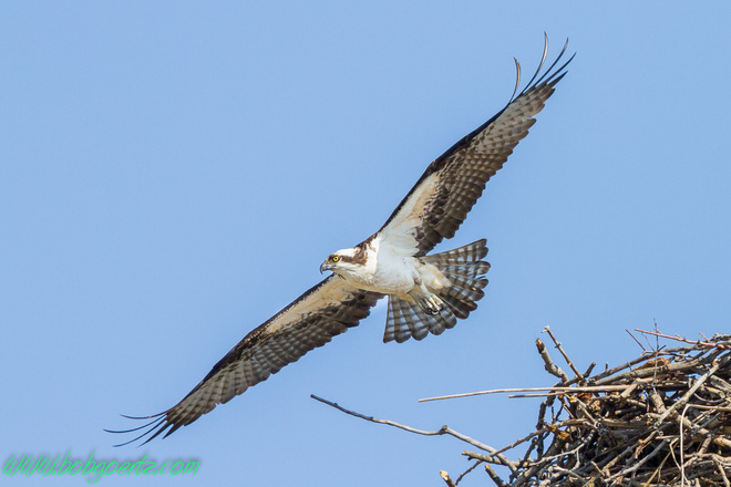 Osprey off for another branch Kitchener, Ontario Canada