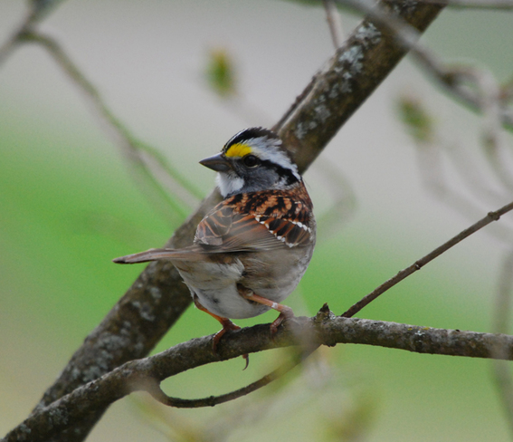 White-throated Sparrow ... Moncton, New Brunswick Canada