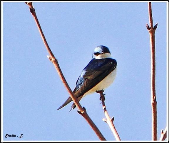 tree swallow Canning, Nova Scotia Canada