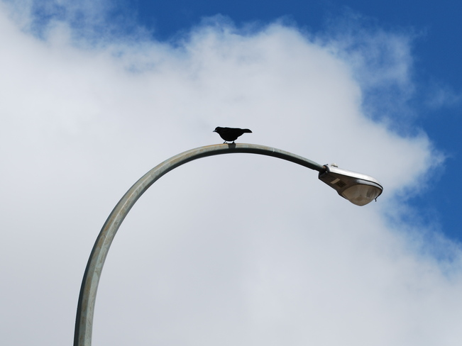 Crow on a Street Light Brandon, Manitoba Canada