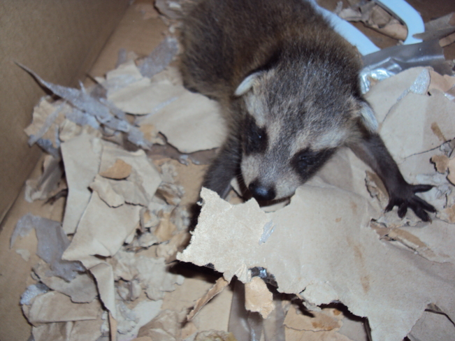 Baby Racoon looking for his Momma St. Thomas, Ontario Canada