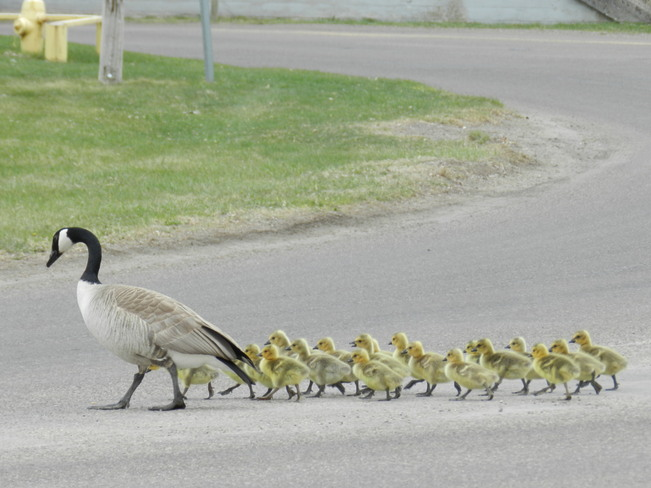 Canada Goose leading her goslings Bow Island, Alberta Canada