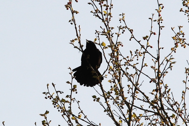 Crow caw in the morning Surrey, British Columbia Canada
