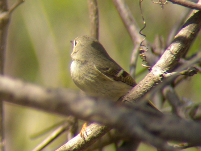 Ruby Crowned Kinglet (Fe-male) Jarvis, Ontario Canada