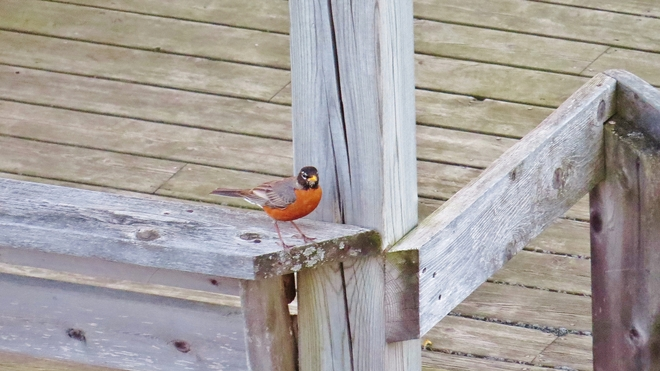 Robin taking a break from singing his song. North Bay, Ontario Canada