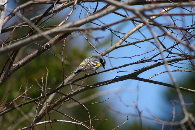Yellow-rumped warbler Moncton, New Brunswick Canada