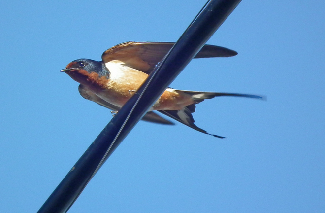 Bird on a wire Selkirk, Manitoba Canada
