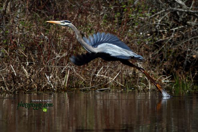 Great Blue Heron Marmora, Ontario Canada