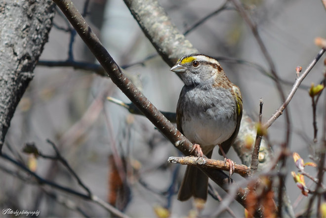 White-throated Sparrow Barachois, New Brunswick Canada