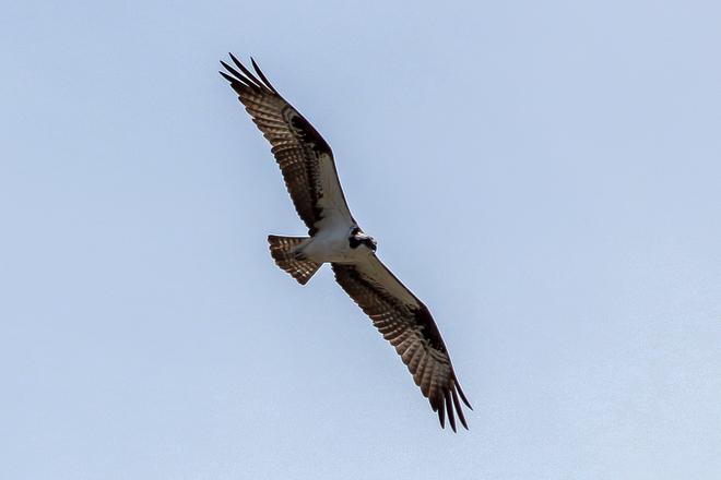 Osprey in Flight Wheatley, Ontario Canada