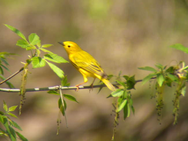 Yellow Warbler Jarvis, Ontario Canada