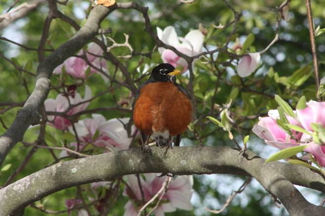 Colourful Robin in Park