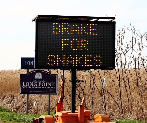 Brake for Snakes! Long Point, Ontario Canada
