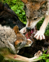 WolvesFeedingDSC8518