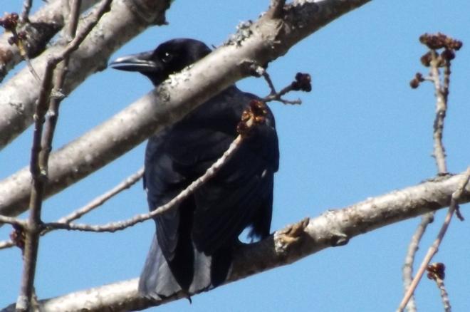 the crow New Minas, Nova Scotia Canada