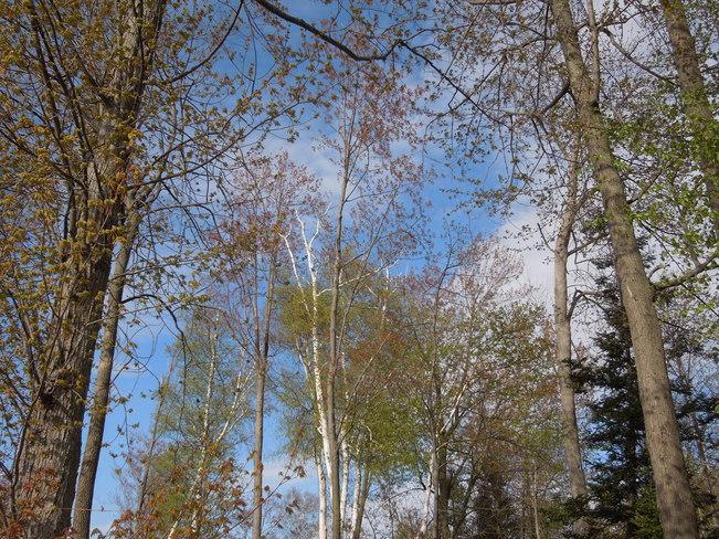 Budding Trees in Spring Wasaga Beach, Ontario Canada