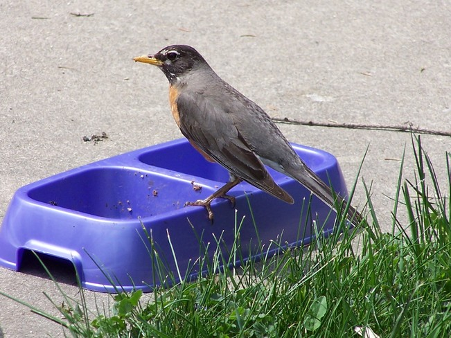Robin eating cat food.