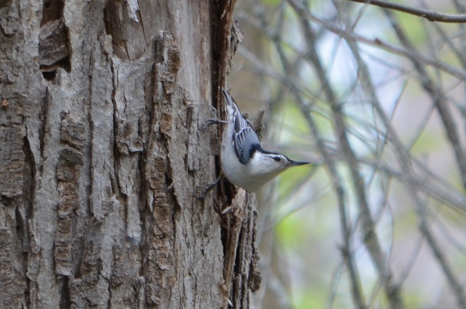 White -breasted Nuthatch