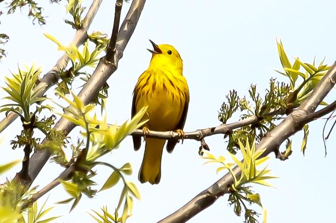 Yellow Warbler Wheatley, Ontario Canada