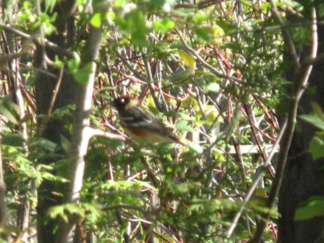 Bay-Breasted Warbler Cobourg, Ontario Canada