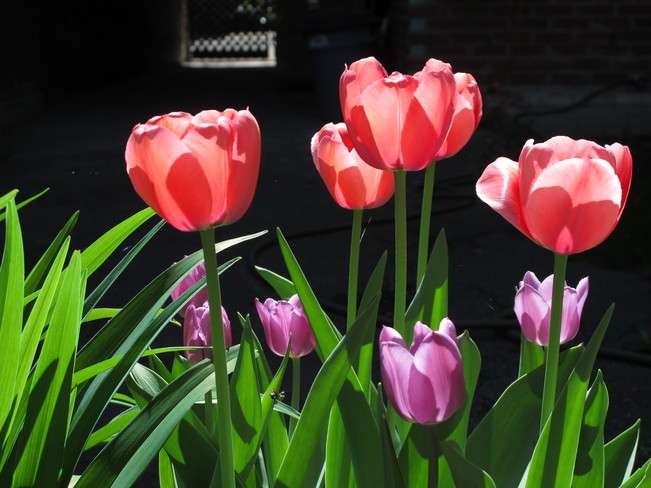 Glowing Tulips Montréal, Quebec Canada