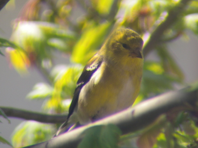 Mrs. Goldfinch Jarvis, Ontario Canada
