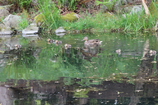 Momma & her ducklings Abbotsford, British Columbia Canada