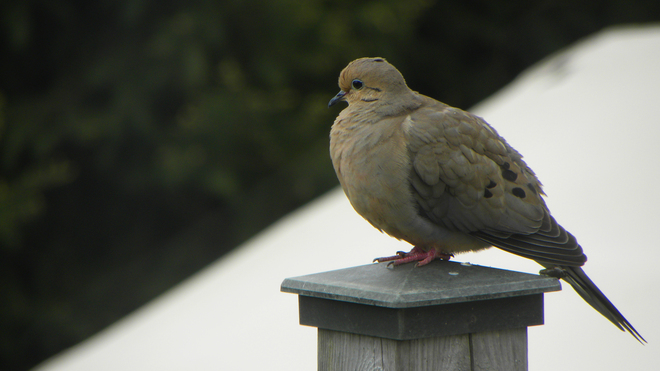 Mourning Dove St. Thomas, Ontario Canada