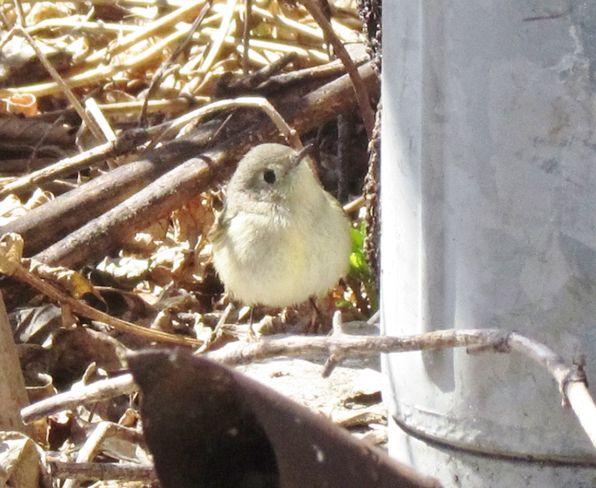 little kinglet