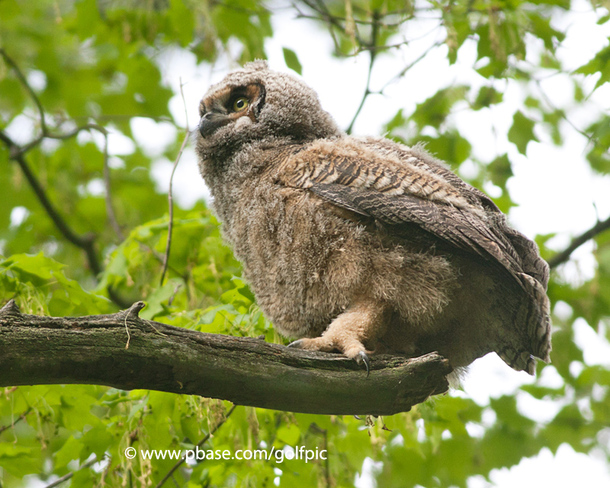Great-Horned Owlet at Mud Lake Ottawa, Ontario Canada
