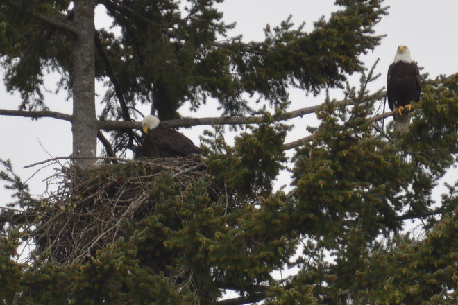 Bald Eagle In Nesting